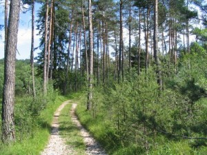 Združba rdečega bora in glot (Brachypodio-Pinetum sylvestris)