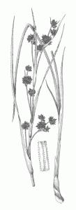 Rezika (Cladium mariscus)