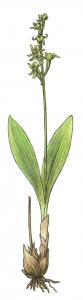 Loeselova grezovka (Liparis loeselii (L.) L.C.Rich.)